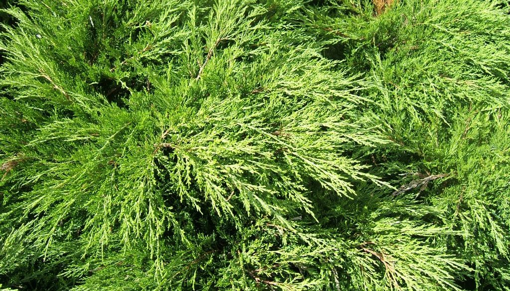 Juniperus_sabina