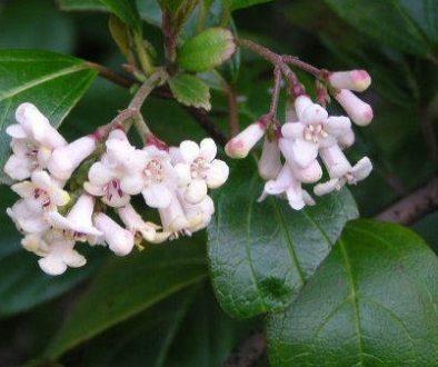 Viburnum rotundifolia